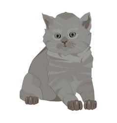 British shorthair breed cute kitten flat vector