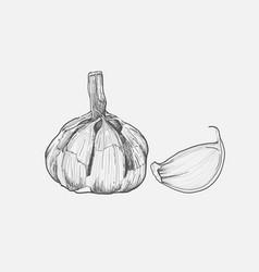 Garlic herbs hand-drawing styleline drawing vector