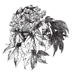 Acanthopanax ricinifolium vintage vector