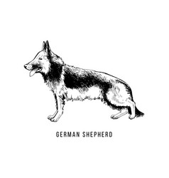 hand drawn german shepherd vector image