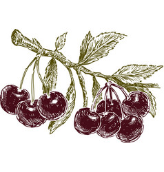 Ripe cherries on a branch vector