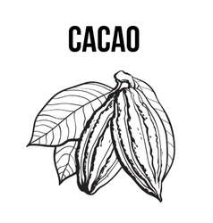 Hand drawn ripe cacao fruit hanging on a branch vector