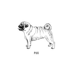 hand drawn pug vector image