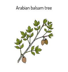 Arabian balsam tree commiphora gileadensis or vector
