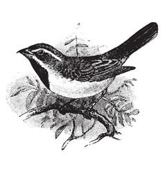 Sage sparrow vintage vector