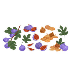 set fresh and dried fig fruit colored vector image