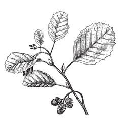 Black alder vintage vector