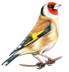 Goldfinch hand drawn bird watercolor colored vector