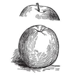 Gano apple vintage vector