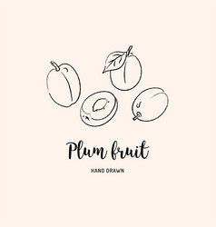 plum fruit graphic drawing sketch plums vector image
