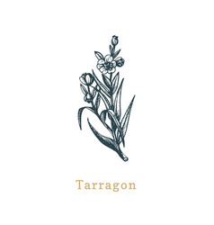 tarragon sketch drawn spice herb in vector image