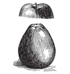 Black gilliflower apple vintage vector