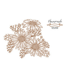 chamomile flowers and leaves medical herbs hand vector image