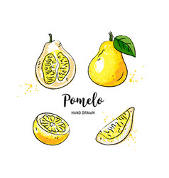 pomelo fruit graphic drawing watercolor pomelo on vector image