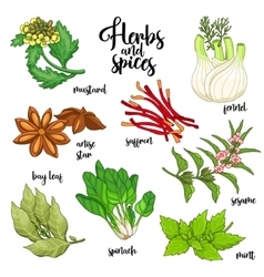 Spices and herbs set Colored on white vector