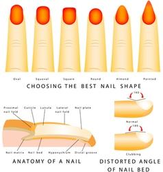 Nail shape vector image vector image