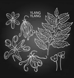 Graphic ylang ylang set vector