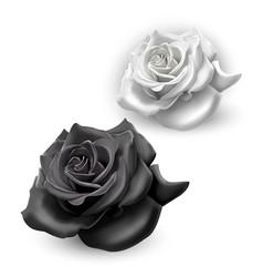 Set black and white roses on white background vector
