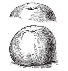 yellow newtown apple vintage vector image