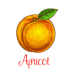 Apricot sketch isolated fruit icon vector
