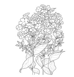 Three blooming phlox flowers with leaves vector