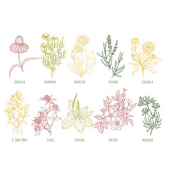 Vintage set of ten colored medicinal herbs vector