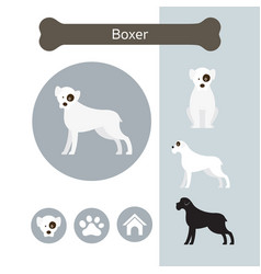 boxer dog breed infographic vector image