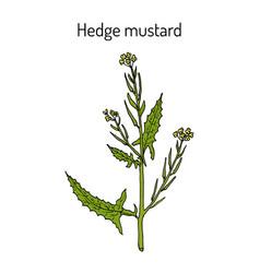 Hedge mustard sisymbrium officinale medicinal vector