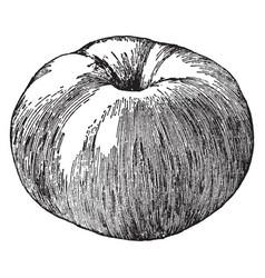 Tompkins king apple vintage vector