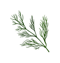 branch of fresh green dill ingredient for vector image