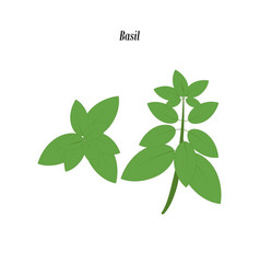 Green basil vector