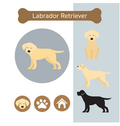 Labrador retriever dog breed infographic vector