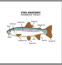Rainbow trout anatomy for education vector