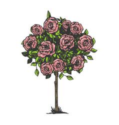 rose bush engraving vector image