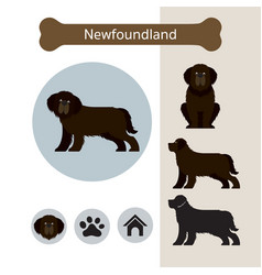 newfoundland dog breed infographic vector image