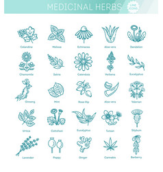 Medical healthy herbs and flowers vector