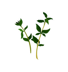 two branches of thyme with small green leaves vector image