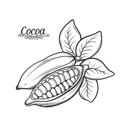 Hand drawn cocoa bean vector image