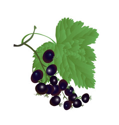 berries of currant and leaf vector image