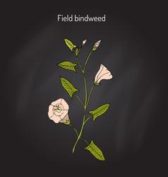 Field bindweed convolvulus arvensis vector