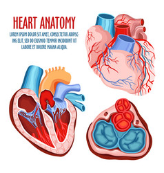 Heart structure medical and anatomy poster vector