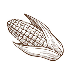 Corn with leaves maize cob sketch drawing vector