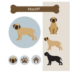 mastiff dog breed infographic vector image