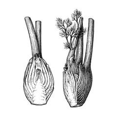 Ink sketch fennel bulbs vector