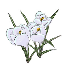 snowdrops hand draw of flower vector image