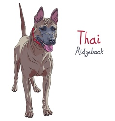 red Thai Ridgeback Dog breed standing vector image vector image