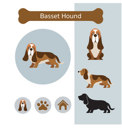 Basset hound dog breed infographic vector