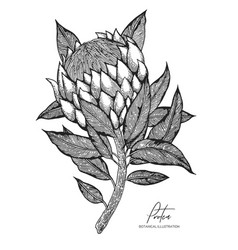 engraved protea isolated on white vector image