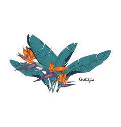 flowers and leaves of strelitzia vector image