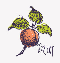 engraving apricot with ink blots vector image vector image